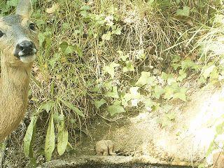Wild Wood en Provence: roe deer pigeon and thrush