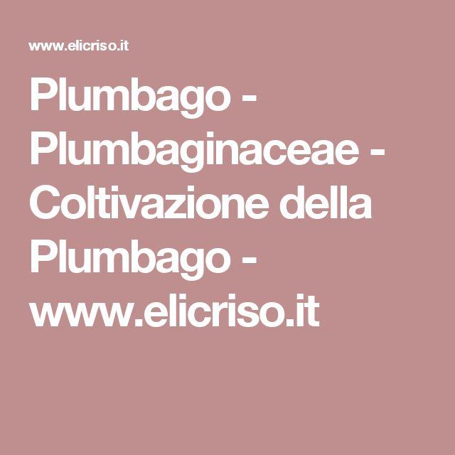 Plumbago - Plumbaginaceae - Coltivazione della Plumbago - www.elicriso.it