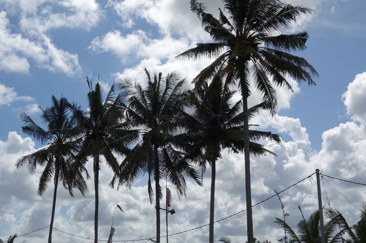 Young coconut trees