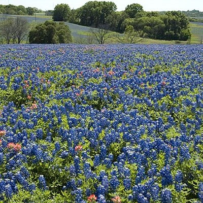 Texas Bluebonnet Seeds | Lupinus texensis | 100% Pure Wildflower Seed