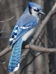 blue jay ::: just as mean as it is pretty.  Chases all other birds from feeder.  Oh, and what a squawk!