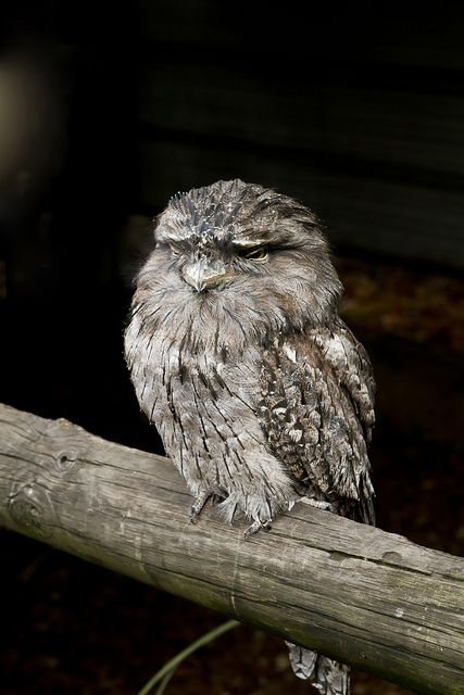 "Tawny Frogmouth Owl, ""You have to sometimes kiss some frogs to find your Prince"" Tawny Frogmouth Owl is hoping this saying is advice that his fellow female owls follow and his chance for Romance in the Animal Kingdom will greatly improve."