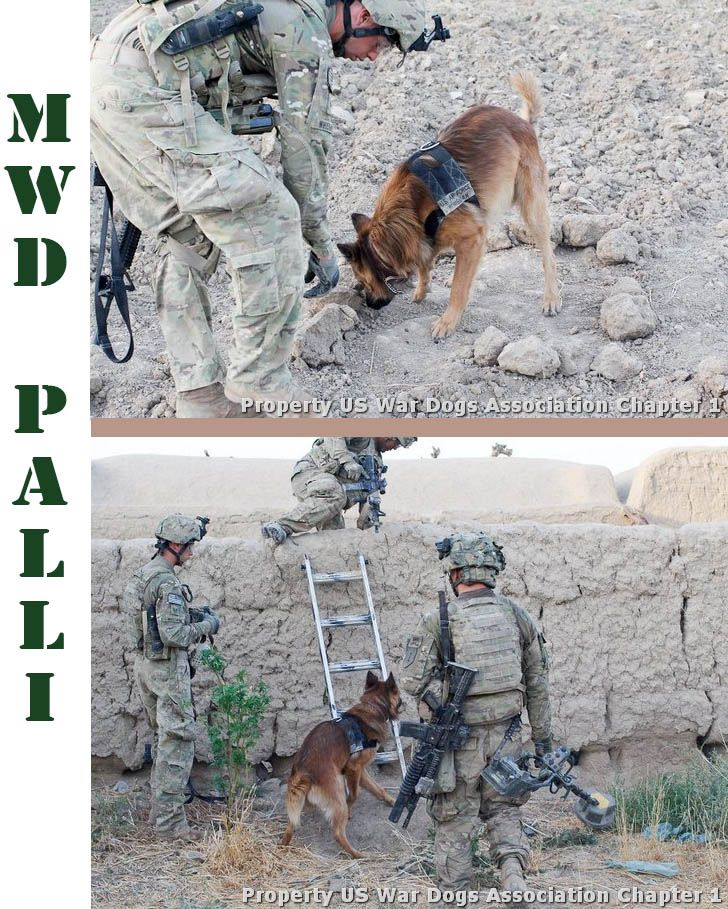 Meet Military Working Dog Palli. Iraq and Afghanistan have approximately 1,200 dog teams in action at one time. When War Dogs are in the operation, the IED (Improvised Explosive Device) detection rate jumps to as high as 80%. The average War Dog will save over 150 soldier lives during the dog's military service!