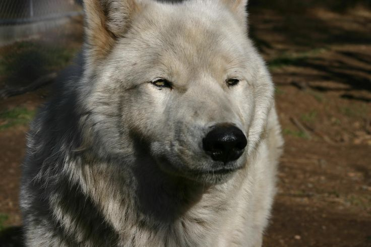 wolf+pictures | HPWREN Collaborates with the California Wolf Center and Allows forNear ...
