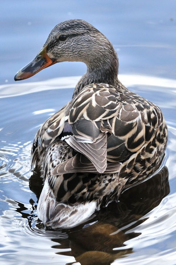 Female Mallard duck - beautiful feather markings!  She is posing very pretty girl!!  I love to watch the ducks at the small lake in Rivendell. Very relaxing!