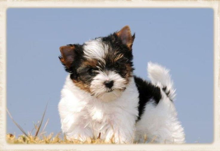 ... com/biewer-terrier.html for more info on this rare and new dog breed