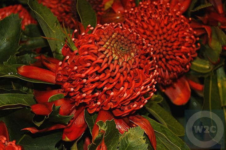 Australia, Waratah Flower