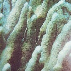 coral aquarium ornament, porites nigrescans