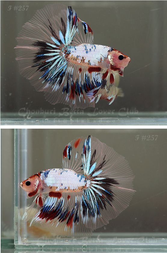 """Did you know there is a betta gene called """"Marble"""" that causes them to change color throughout their lifetime? If you ever see a betta with splotches of color..it might be a marble! Keep him in warm water with plenty of room to swim and you will see your fish change colors and thrive!"""