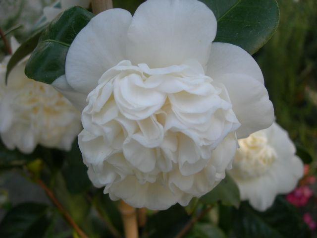 Camelia japonica Nobilissima - arbusti ornamentali sempreverdi online - arbusti online - m 6-7 bianchi aprile