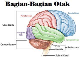 Organ Tubuh Manusia TERLENGKAP SERTA GAMBAR http://ift.tt/2cpEZ0y