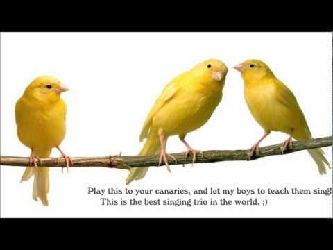 Canary singing - The best Canary trio in the world, canary training  ;)