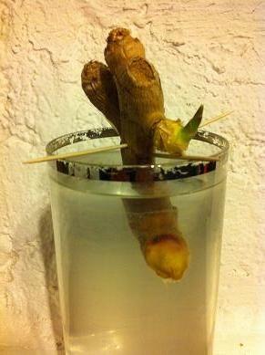 Faire pousser du gingembre dans un verre d'eau. ´