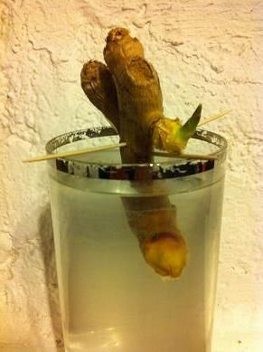 Faire pousser du gingembre dans un verre d'eau du #jardinage amusant avec le site #caboucadin