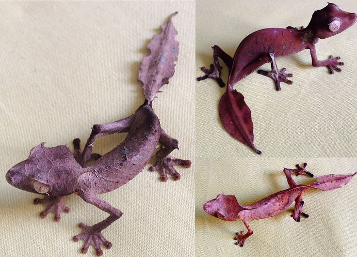 The satanic leaf gecko(Uroplatus phantasticus), is a species of gecko indigenous to the island of Madagascar.