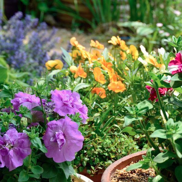 6 perfect Geranium Rozanne container pairings.