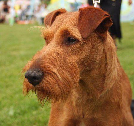 Ирландский терьер | Породы собак | Животные и породы | Animal.ru