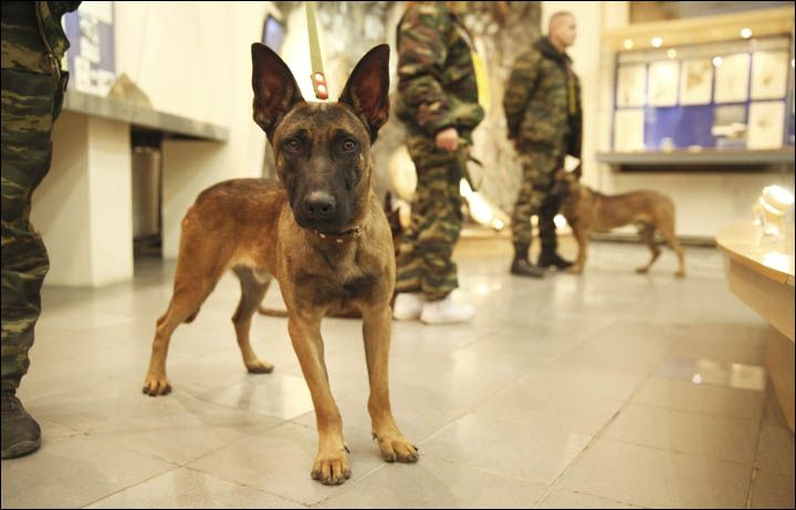 #RUSSIA #SWD #GREEN2STAY  Cloned dogs arrive in Yakutia: next woolly mammoths? By The Siberian Times reporter28 November 2016 The Belgian Malinois were cr http://siberiantimes.com/other/others/news/n0797-cloned-dogs-arrive-in-yakutia-next-woolly-mammoths/