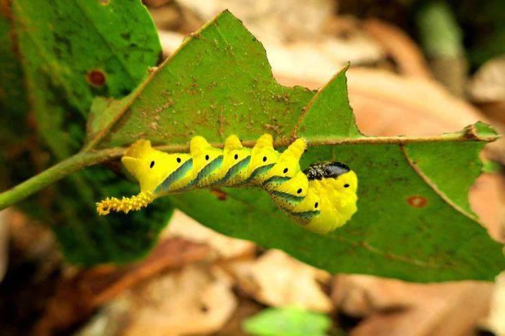 Totenkopfschwärmer Raupe, Acherontia atropos - Elfenbeinküste