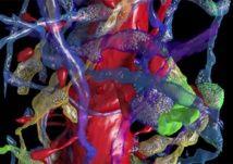 Realizan un mapa del cerebro a escala nanoscópica. 16/10/15