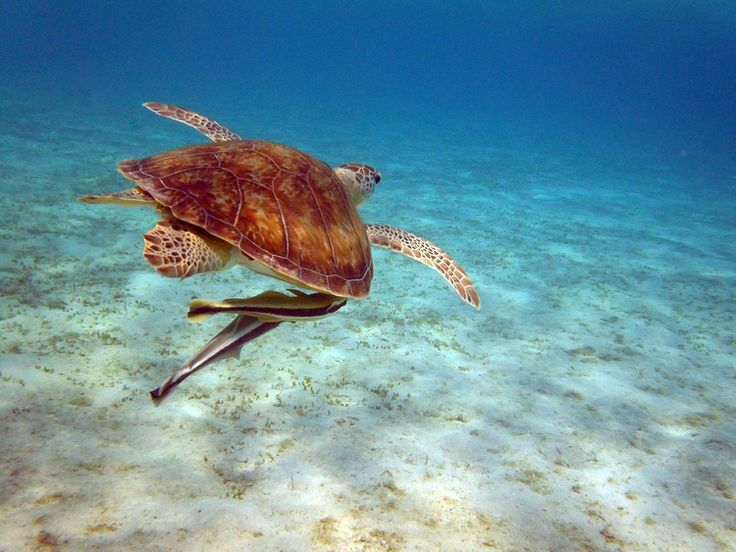 Sea Turtle with Remoras - Marsa Alam, Egypt - August 9, 2011 | Egypt | FotoDiSpalle
