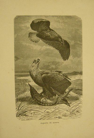 Muetzel G. - Jahrmargt K. - Aquila di mare. s.d. (ma 1900 ca.). Storia natule - Etologia - Animali - Uccelli - Ornitologia  - Stampa - Scienza -  -