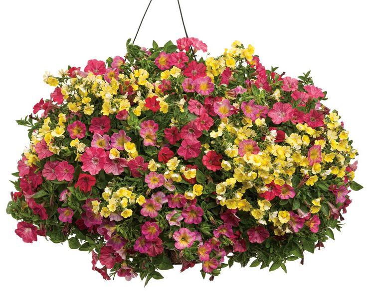 Hanging Basket 'Dreamboat' featuring: Petunia 'Supertunia Watermelon Charm', Calibrachoa 'Superbells Sweet Tart' and Nemesia 'Sunsatia Lemon'