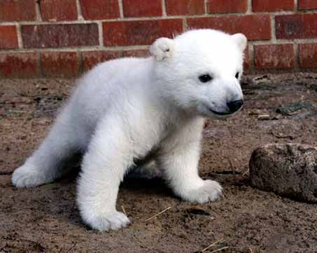 Click here to see adorable baby polar bears!