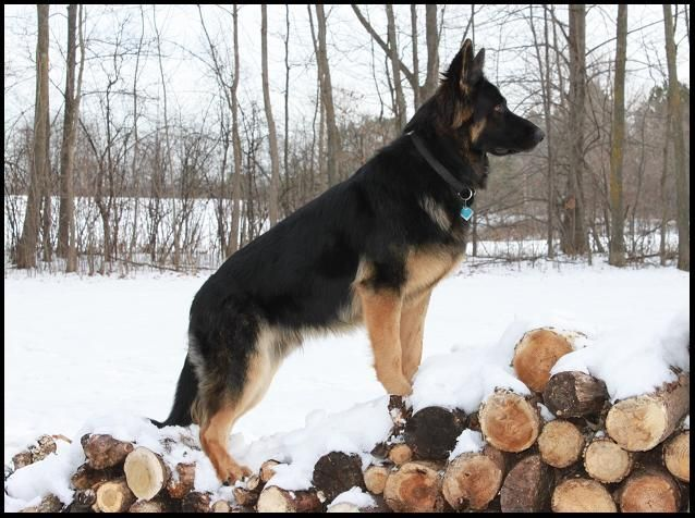 Minnesota K-9 Solutions - ADULT DOGS FOR SALENational Gold ...