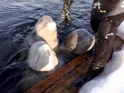 beluga whales singing - one that can't sing beautiful humour from nature  http://www.jobsinmedical.co.uk   http://www.jobsinmedicalglobal.com