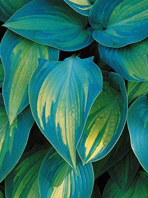 """Hosta """"June""""   Sonne - Schatten   35 - 45 cm   Wachstum: mittel"""