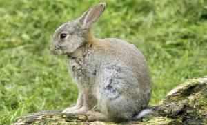 Giant Rabbit Life Span