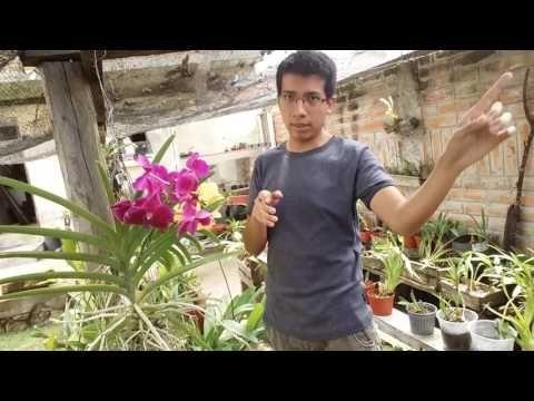Solución enzimática casera para la floración de orquídeas    Orquiplanet - YouTube