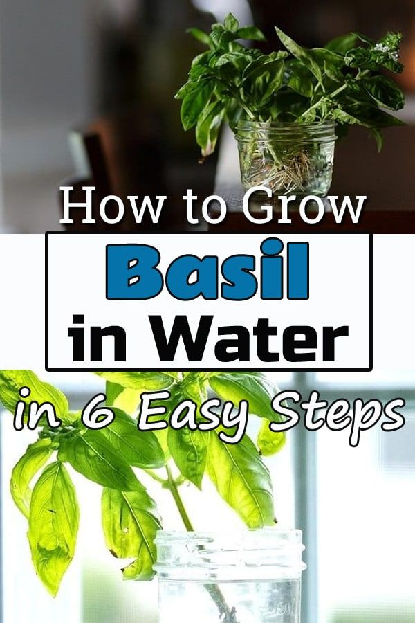 How To Grow Basil In Water For Never Ending Supply Growing Basil Basil Plant Basil