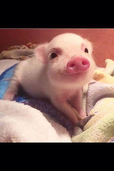I want to snuggle with this cute little piggy!!