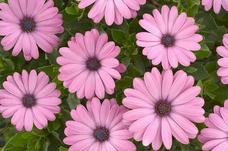 Cseppecskevirág rózsaszín, pink- Osteospermum ecklonis (novenytar.krp.hu) - Forrás: http://www.danziger.co.il/