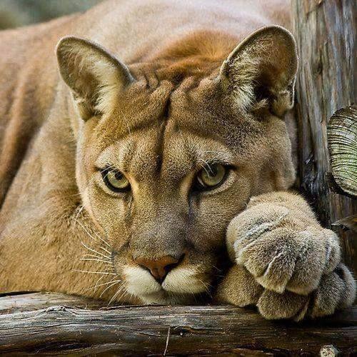 Beautiful puma
