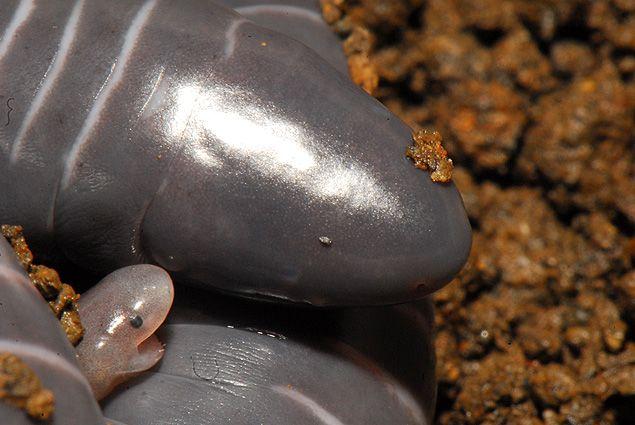 Um comportamento inédito no reino animal chamou a atenção de biólogos: filhotes de espécie de cobra-cega (Siphonops annulatus), um anfíbio enigmático que vive na Bahia, comem a pele da própria mãe ...