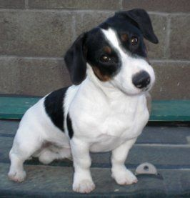 I WANT ANOTHER SHORTIE!!!Hercules - Jack Russell shortie