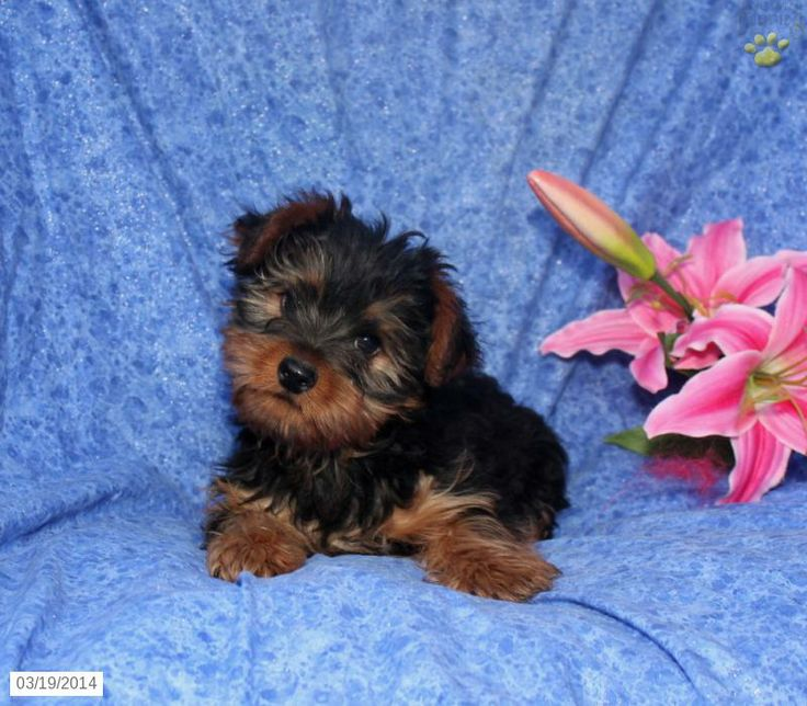 Puppies For Sale Puppy For Sale In Millerstown Pa