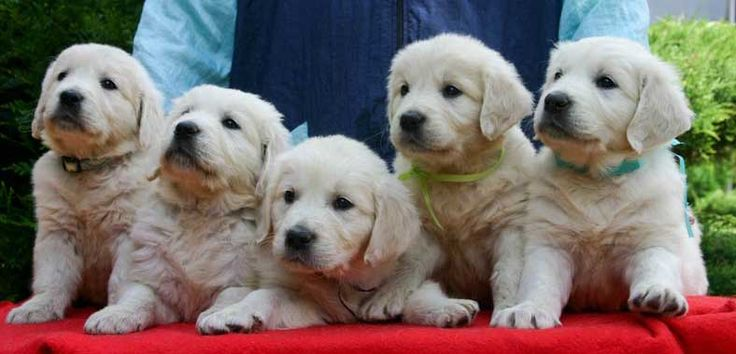 Brighton Goldens - Possible purchase as adult