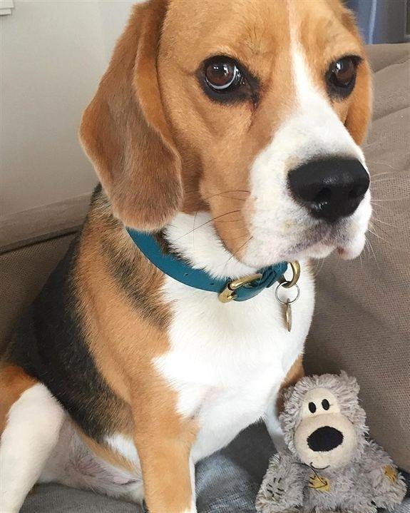Beagle Dogs Love Animals Pup Beagle Dogs Beagle Dog