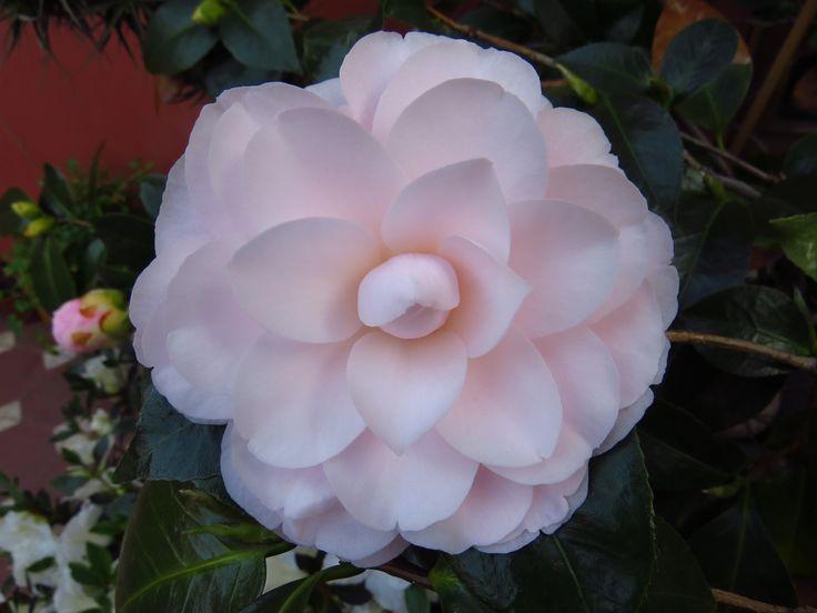 Flor de camelia.