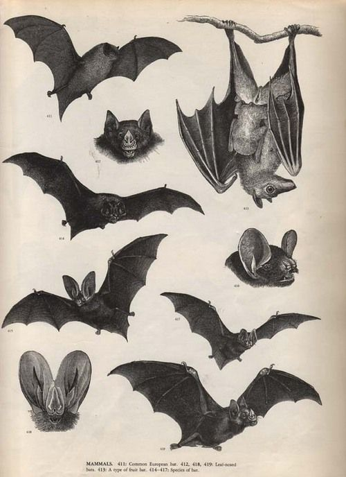 Vintage bat illustration - perfect for the season that's right around the corner.