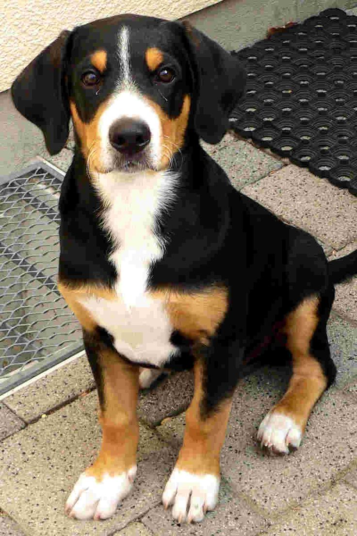 Entlebucher Sennenhund | DoGGy LovE | Pinterest