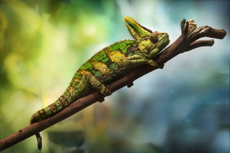 Reptile Cage Stylish Best Reptile Pets For Handling Beginner Pet Lizards Leopard Layout From Exciting Easy To Take Chameleon Pet Veiled Chameleon Reptiles Pet