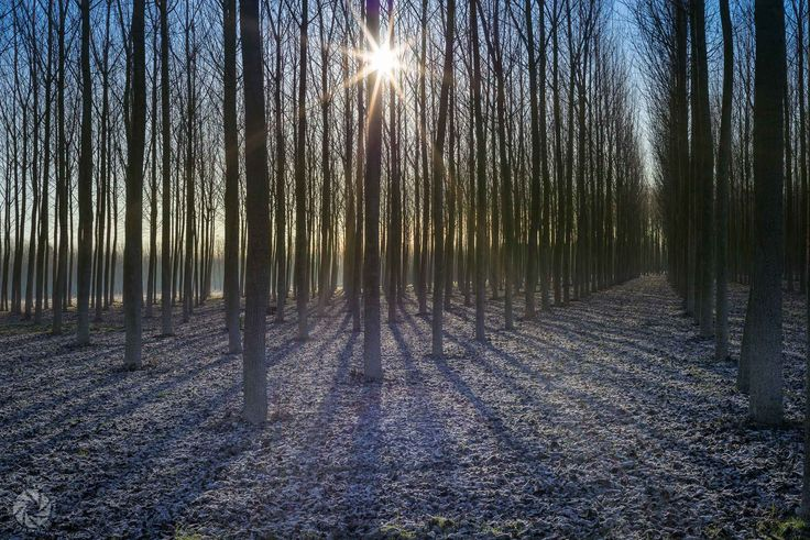 Sun Is Rising Through Poplars (Zulugne in Friulano Significa Brina)
