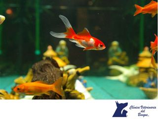 CLÍNICA VETERINARIA DEL BOSQUE. ¿Por qué se mueren mis peces? Las causas pueden ser muchas, limpieza inadecuada, falta de bacterias nitrificantes, uso inadecuado de químicos, estrés, contaminación bacteriana, viral, parasitaria o viral, entre otras. En Clínica Veterinaria del Bosque te invitamos a visitar nuestro sitio web www.veterinariadelbosque.com, para conocer todos los servicios que ofrecemos. #cuidadodemascotas