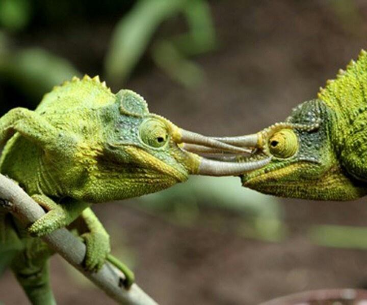 Chameleon Horns: 931 Best Images About Horns , Thorns And Tusks On Pinterest
