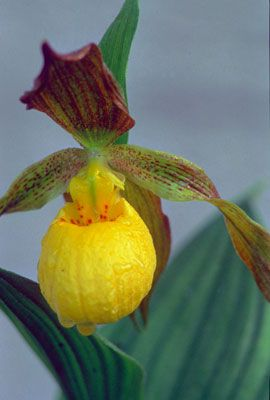 Yellow Lady's Slipper orchid • Want to know some great wildflower walks in the Smoky Mountains, Click the Pin.